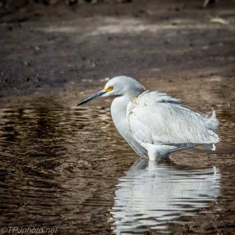 Snowy Egret - Click To Enlarge