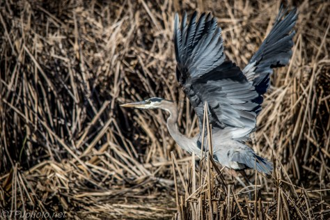 Great Blue Heron Taking Flight - Click To Enlarge