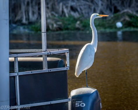 Great Egret Taking A Tour - Click To Enlarge