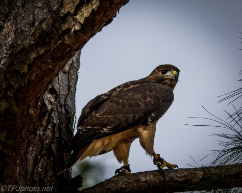 Red-tailed Hawk - Click To Enlarge