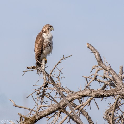 Patient Red-tailed Hawk - Click To Enlarge