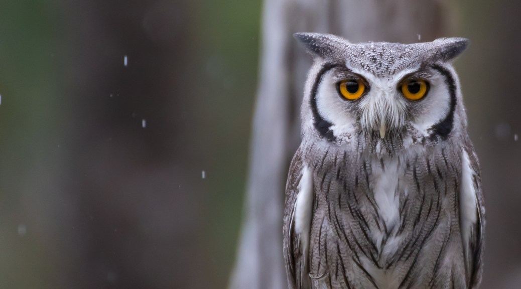 White-faced Scops Owl - Click To Enlarge