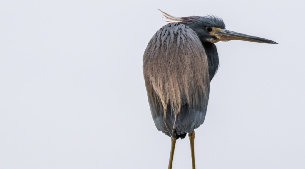 Early Morning Tri-color Heron - Click To Enlarge