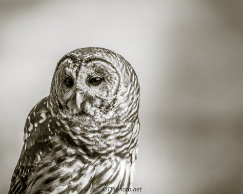 Barred Owl In Black And White - Click To Enlarge