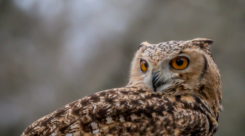 Savigny's Eagle Owl - Click To Enlarge