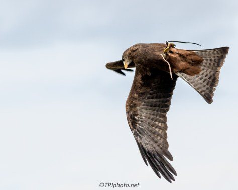 Yellow Billed Kite In Flight - Click To Enlarge