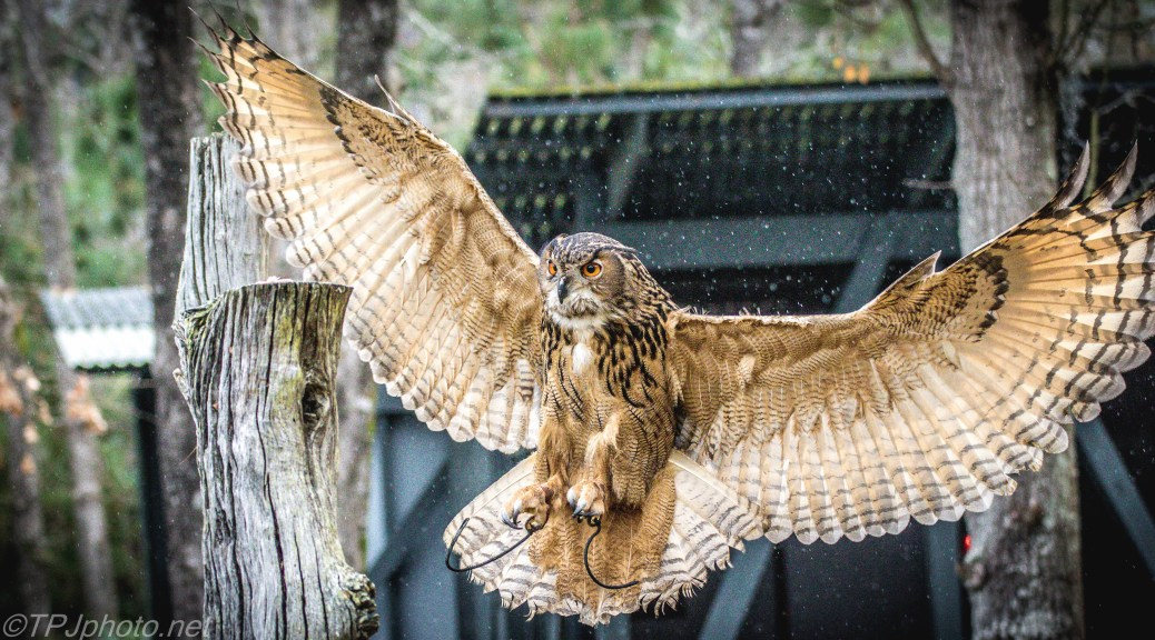 Eagle Owl In The Rain - Click To Enlarge