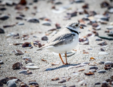 Piping Plover - Click To Enlarge