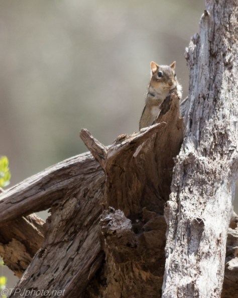 New England Chipmunk - Click To Enlarge
