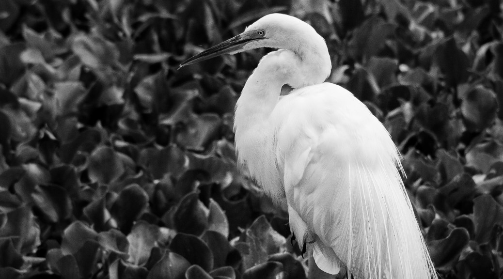 Great Egret Black And White - Click To Enlarge