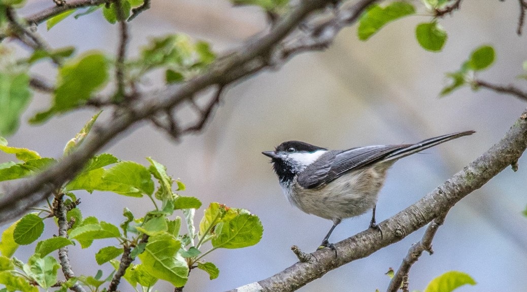 Black Capped Chickadee - Click To Enlarge