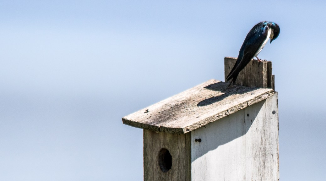 Nest Box Swallows - Click To Enlarge