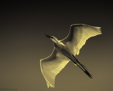 Great Egret Sepia - Click To Enlarge