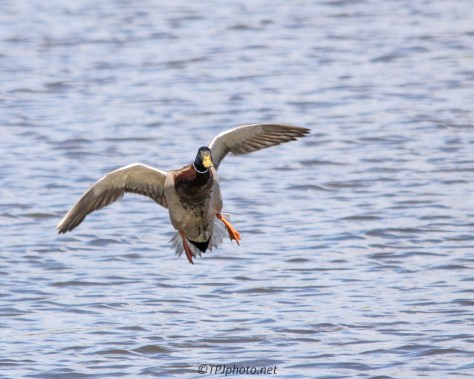 Soft Landing Mallard - Click To Enlarge