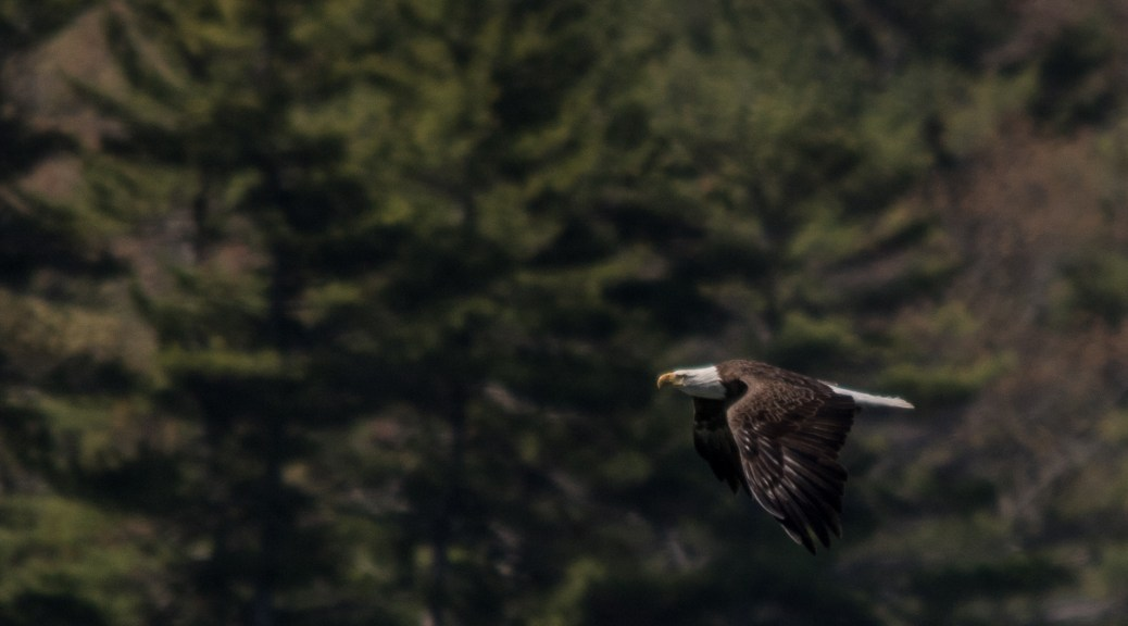 Maine American Bald Eagle - Click To Enlarge