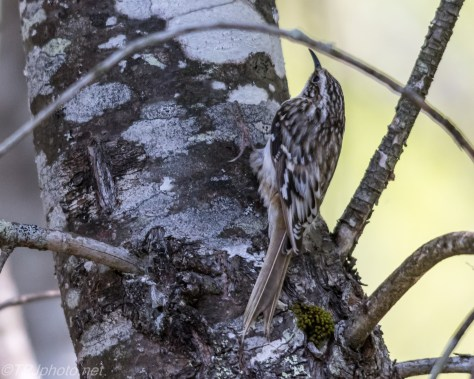 Brown Creeper - Click To Enlarge