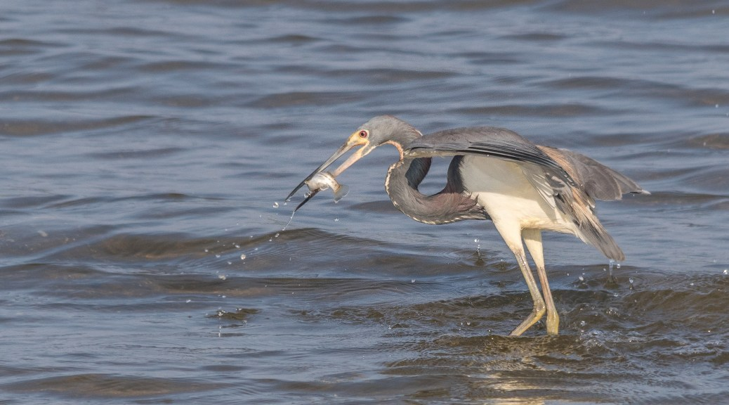 Tricolor Heron Fishing - Click To Enlarge