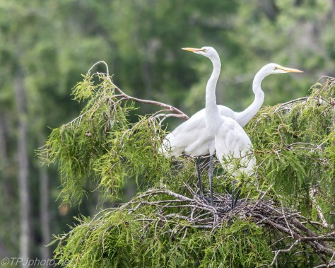 Nesting Adult Great Egrets - Click To Enlarge