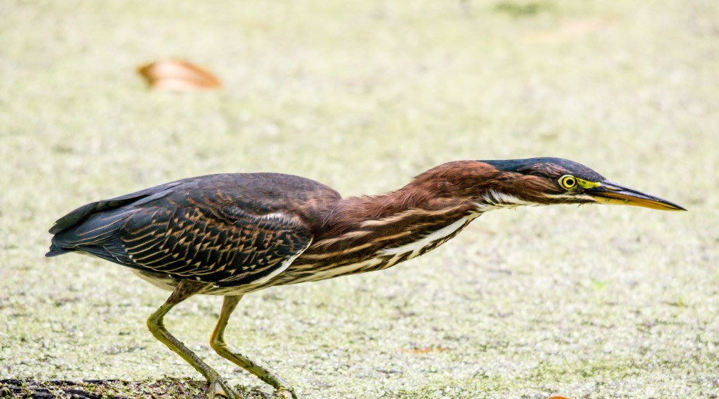 Green Heron - Click To Enlarge