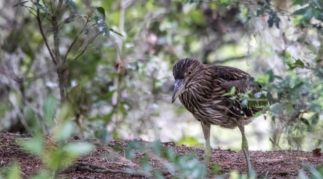 Juvenile Black Crested Night Heron - Click To Enlarge