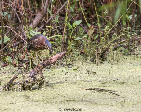 Swamp Green Heron - Click To Enlarge