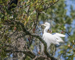 Baby Egret Bursting With Joy - Click To Enlarge