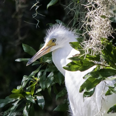 Baby Great Egret - Click To Enlarge