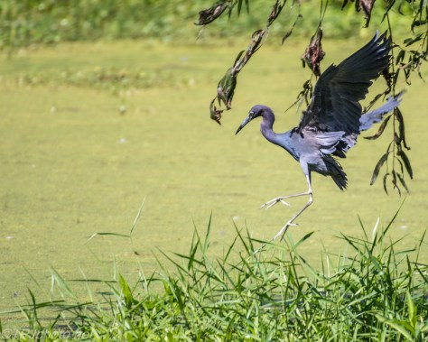 Heron Fishing In Swamp Duck Weed - Click To Enlarge