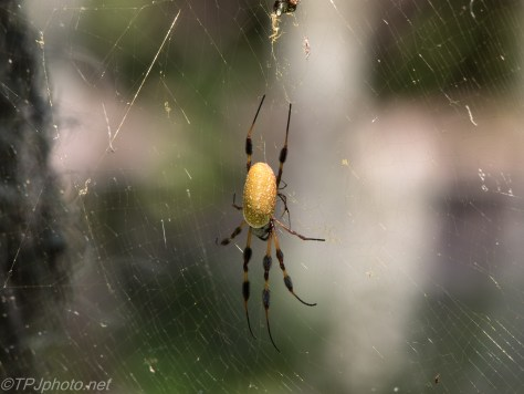 Swamp Spider - Click To Enlarge