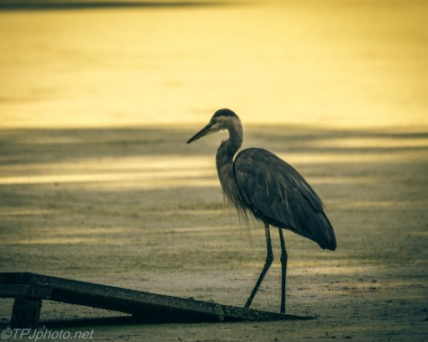 Early Morning Great Blue Heron - Click To Enlarge