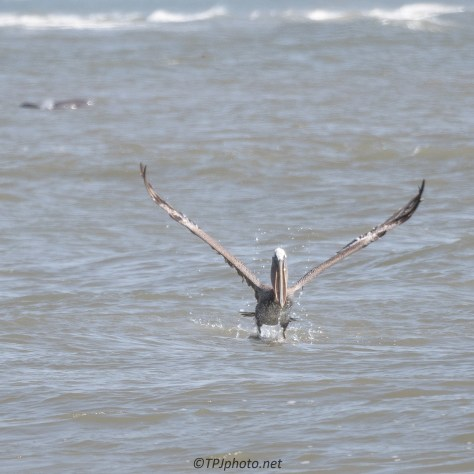 Pelican With Catch And Dolphin Moving In - Click To Enlarge