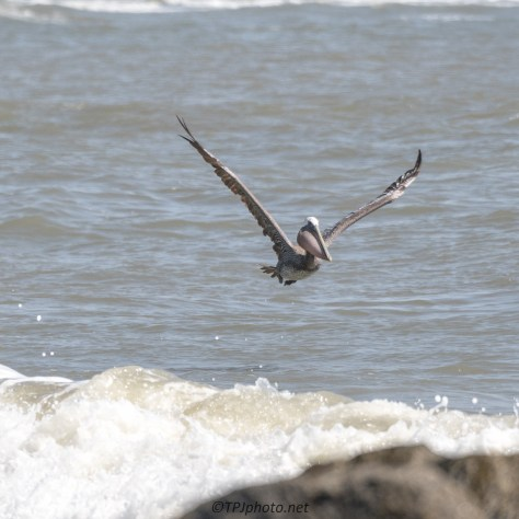 Pelican Caught Something Big - Click To Enlarge