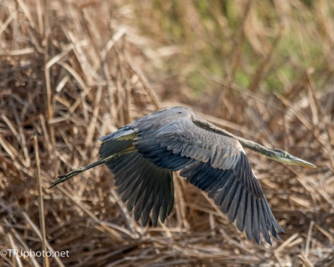 Great Blue Heron In Flight - Click To Enlarge