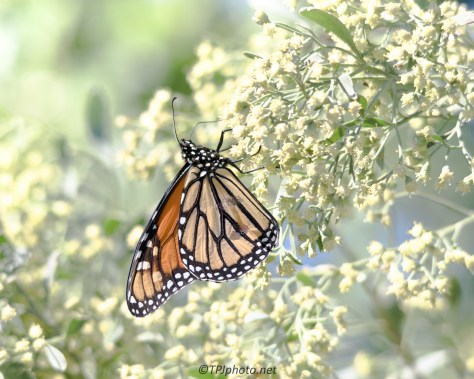 Sunlit Monarch Butterfly - Click To Enlarge