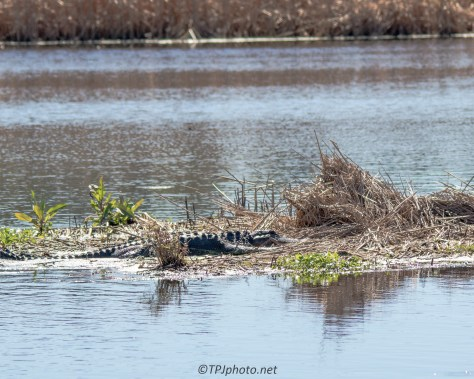 South Carolina Alligator - Click To Enlarge