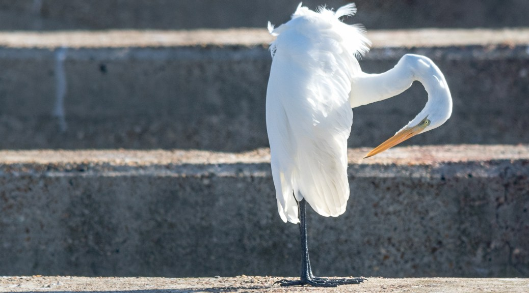 Great Egret Doing Yoga - Click To Enlarge