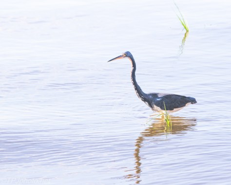 Strolling Tricolored Heron - Click To Enlarge