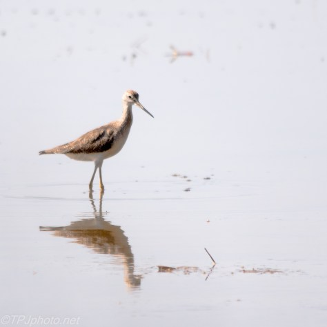 Greater Yellowlegs - Click To Enlarge