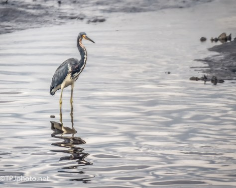 Tricolored Heron Reflections - Click To Enlarge