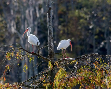 Pair White Ibis - Click To Enlarge