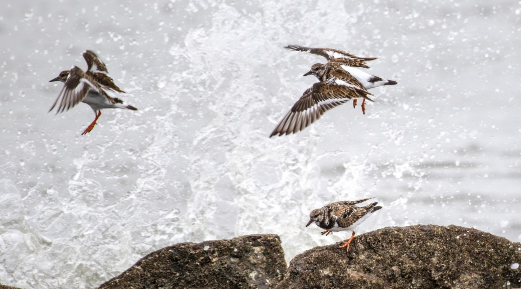 Ruddy Turnstone In The Waves - Click To Enlarge