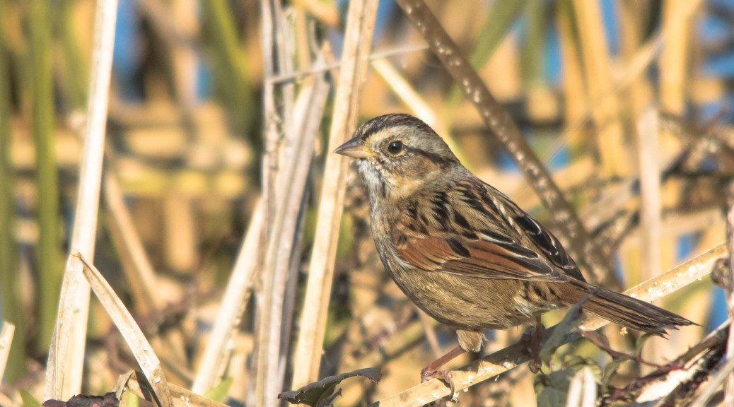Swamp Sparrow - Click To Enlarge