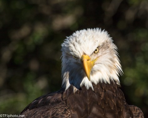 Bald Eagle Portrait - Click To Enlarge