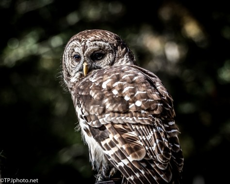 Barred Owl Silhouette Portrait - Click To Enlarge