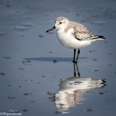 Reflections And Sanderlings - Click To Enlarge