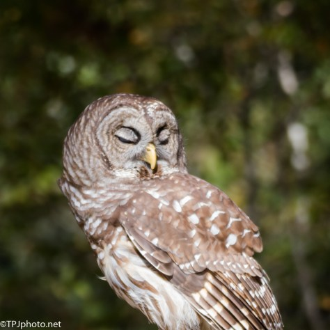 Complete Indifference, Barred Owl - Click To Enlarge