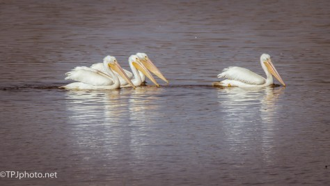White Pelicans - Click To Enlarge