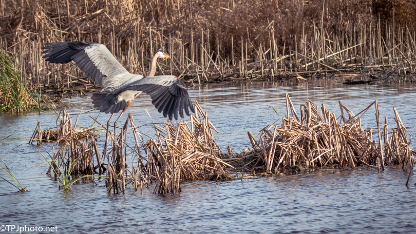 Great Blue Heron Landing In A Marsh - Click To Enlarge
