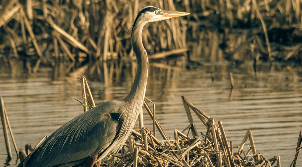 Great Blue Heron, Low Sun - Click To Enlarge