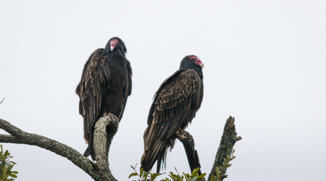 Vulture Roost - Click To Enlarge